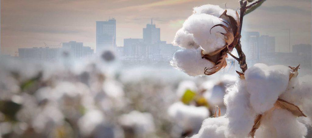 Permian Basin cotton field in Midland Texas